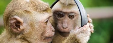 Ciencia española 'made in China': las primeras quimeras humano-mono se han fabricado en China porque